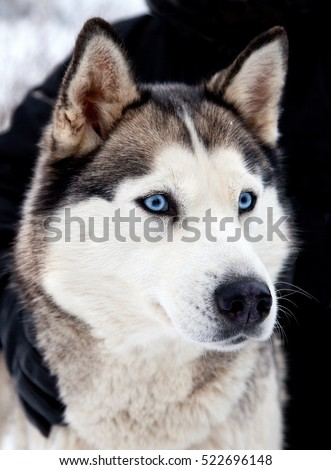 Portrait of siberian husky dog with blue eyes intently looking forward