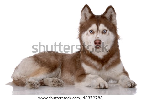 Portrait of Siberian Husky isolated on white