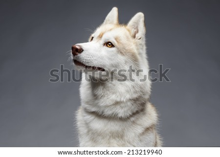 Portrait of siberian husky on gray background