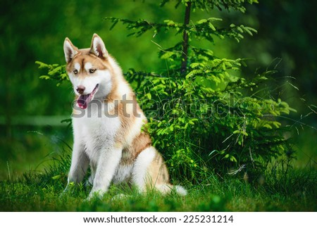Portrait of Siberian husky on green foliage background - stock photo