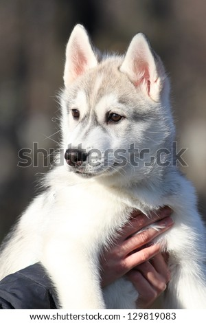 portrait of siberian husky puppy