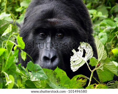 Portrait of Silver-back, the leader of the Gorilla - stock photo