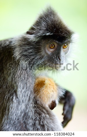 Portrait of silver leaf monkey with a baby