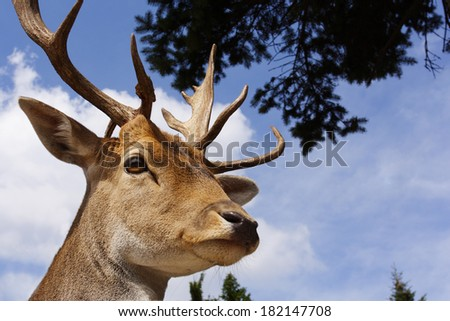 Portrait of single deer in outdoor - stock photo