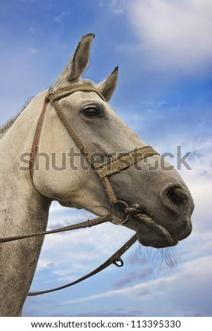 Portrait of single gray horse on meadow in East Europe