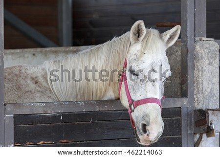 Portrait of single white horse who sleeping in a stable