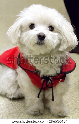 Portrait of Sir Leopold, a beautiful and cute poodle posing for a superb photo. - stock photo