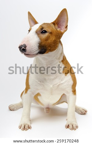 Portrait of sitting dog breed bull terrier on white background - stock photo