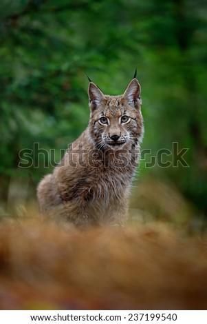 Portrait of sitting Eurasian Lynx in green forest - stock photo