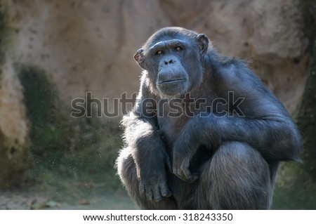 Portrait of sitting monkey. Chimpanzee looks at something with extreme attention - stock photo