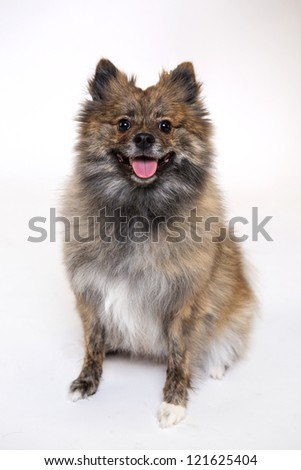Portrait of sitting Pomeranian pomegranate isolated on white - stock photo