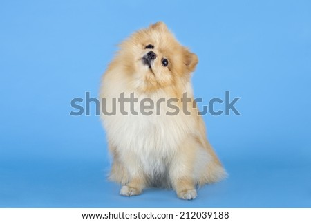 Portrait of sitting pomeranian spitz sitting on blue background - stock photo