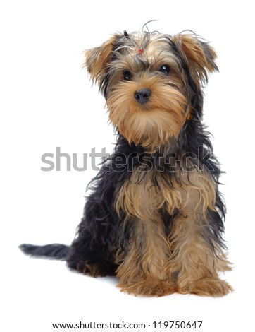 Portrait of sitting puppy of yorkshire terrier isolated on white