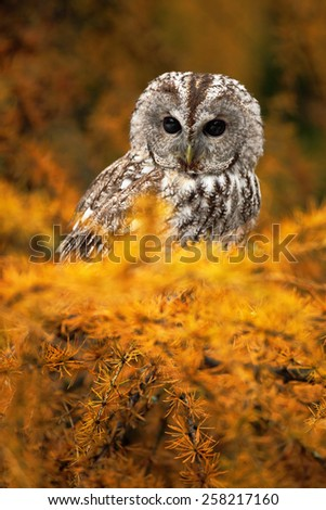 Portrait of small Boreal owl in the orange larch tree in central Europe - stock photo