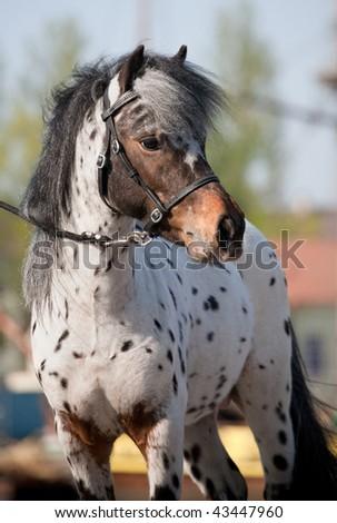 Portrait of small pony appaloosa. - stock photo