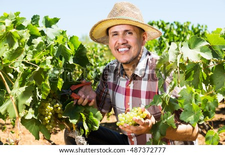 Portrait of smiling man working on collecting ripe grapes on winery yard