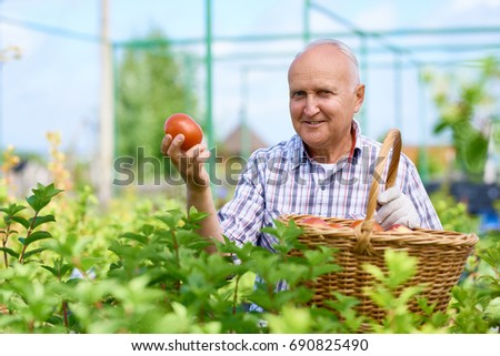 Portrait of smiling old man presenting tomatoes proudly looking at camera, gathering rich harvest in glass house