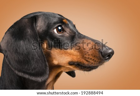 Portrait of smooth-haired dachshund dog of black color