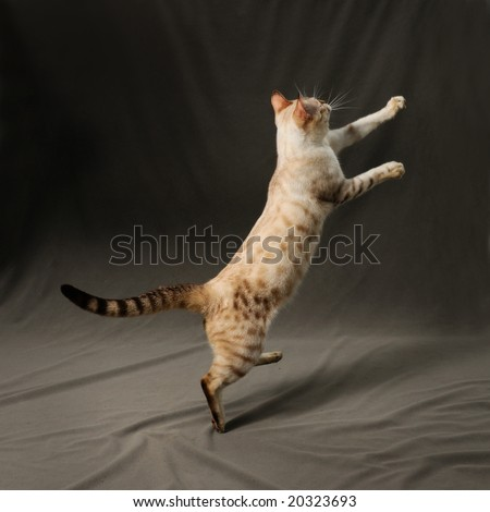 Portrait of snow spotted bengal cat jumping