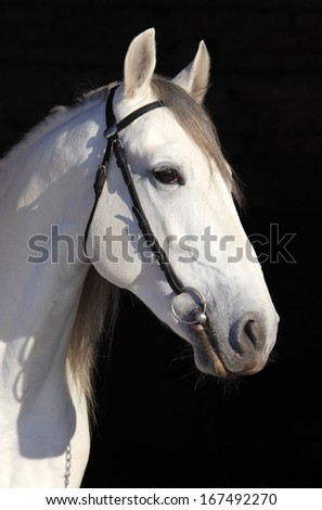 Portrait of sport horse against the black background - stock photo