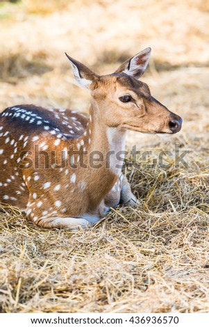 Portrait of Spotted Deer, Thailand
