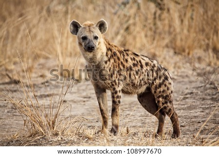portrait of spotted hyena in luangwa national park zambia - stock photo