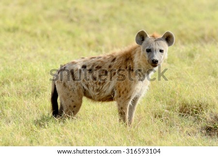Portrait of spotted hyena in National park of Kenya - stock photo