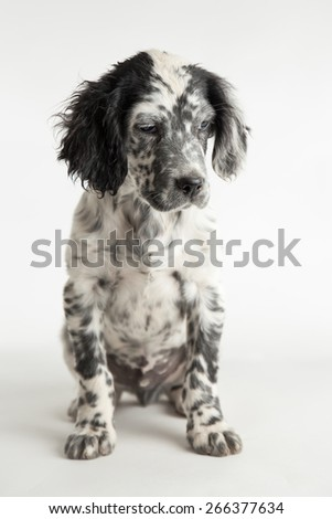 Portrait of spotted puppy dog setter in sitting position.White background - stock photo