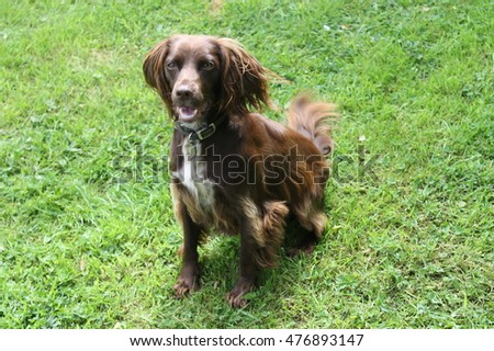 Portrait of Springer Spaniel Dog in garden during Summer.