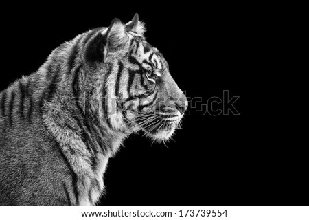 Portrait of Sumatran tiger in black and white - stock photo