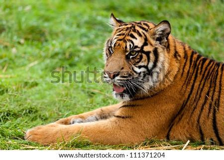 Portrait of Sumatran Tiger Lying Down Panthera Tigris Sumatrae - stock photo