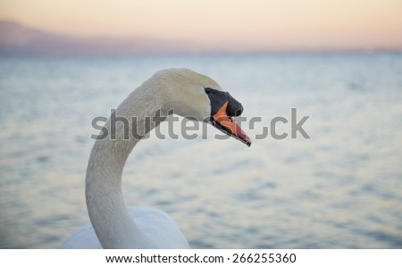 portrait of swan at sunset - stock photo