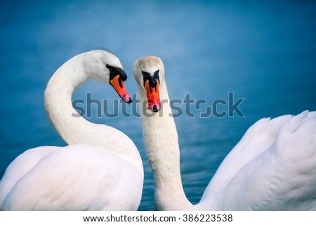 Portrait of swan swimming in the lake