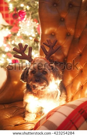 Portrait of Sweet Adorable Yorkshire Terrier Dog Wrapped in Christmas Holiday Lights Sitting on Leather Chair with Antlers to look like Reindeer - stock photo