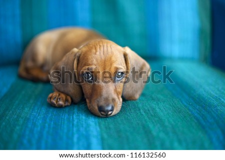 Portrait of sweet little baby Dachshund - stock photo