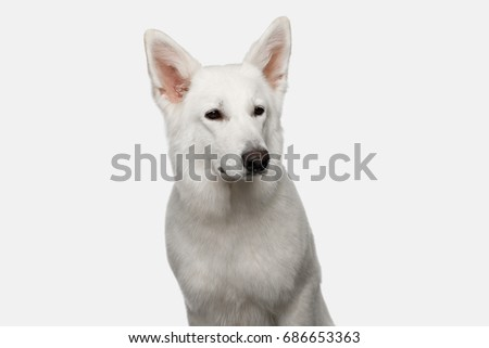 Portrait of Swiss Shepherd Dog Looks Serious on White background, front view