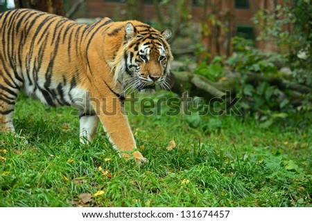 Portrait of the Amur tiger in the spring