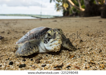 Portrait of the baby green turtle (Eretmochelys imbricata) on the sandy beach. Yap, Micronesia, Pacific ocean. - stock photo