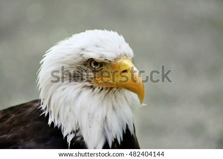 Portrait of the bald eagle (Haliaeetus leucocephalus)  the national bird and national animal of the United States of America