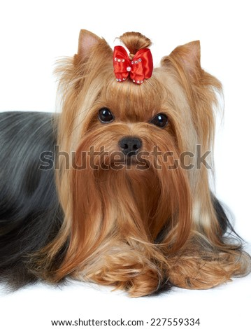 Portrait of the beautiful Yorkshire Terrier over white - stock photo