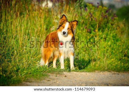 portrait of the border collie sable color in the morning - Sable Color Cultura