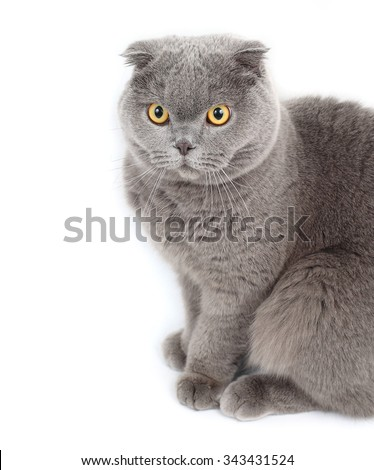 Portrait of the British short-haired cat on a white background.