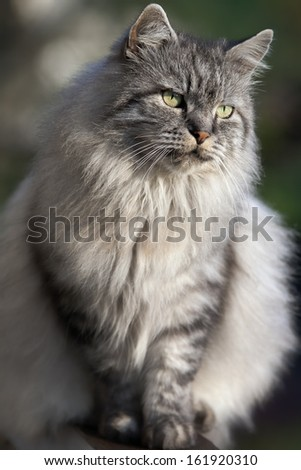 portrait of the cat with a long hair - stock photo