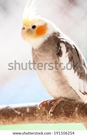 Portrait of The cockatiel or Nymphicus hollandicus - stock photo