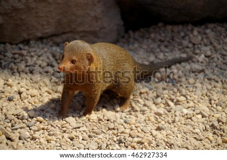 Portrait of the common dwarf mongoose