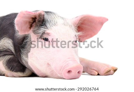 Portrait of the cute pig isolated on white background - stock photo