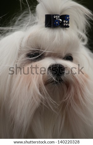 portrait of the dog breed Shih Tzu - stock photo