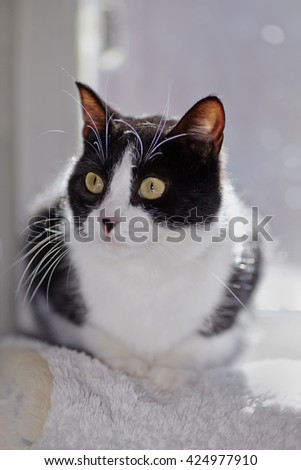 Portrait of the domestic black-white cat lit with the sun. - stock photo