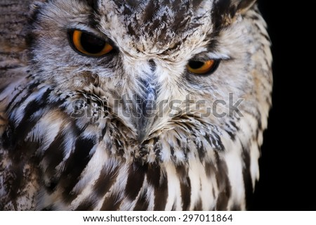 Portrait of The Eurasian Eagle Owl .