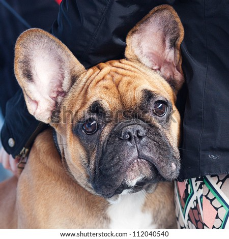 portrait of the French bulldog sitting on a bench - stock photo